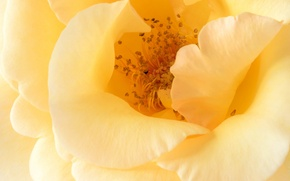 Picture macro, rose, petals, yellow rose
