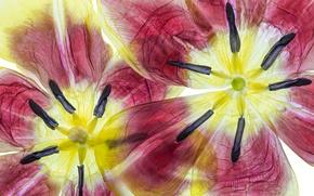 Wallpaper flower, nature, paint, Tulip, petals