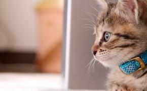 Wallpaper cat, Tomcat, cat