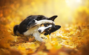 Picture autumn, leaves, dog, bokeh