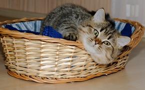 Picture cat, cat, face, basket