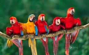 Picture branch, feathers, beak, parrot, tail, Ara, Peru, Tambopata