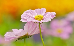 Picture flowers, background, pink, kosmeya