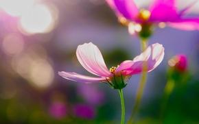 Picture flowers, glare, pink, kosmeya
