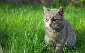 Picture greens, grass, cat, look, grass, eyes, cat