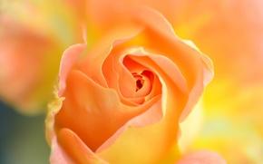 Picture flower, nature, rose, petals