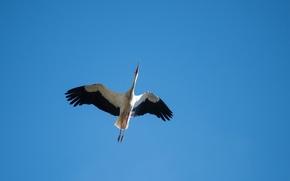 Wallpaper the sky, bird, stork