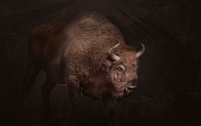 Picture background, power, horns, Buffalo