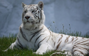 Picture cat, grass, stay, white tiger
