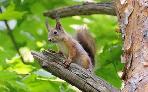 Picture branches, tree, protein, wood, branches, squirrel