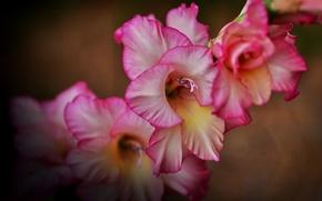 Wallpaper macro, gladiolus, gladiolus