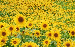 Picture greens, field, summer, sunflowers, flowers, mood