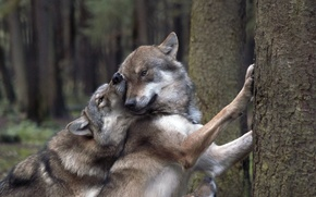 Picture Trees, Forest, Wolves, Playfulness