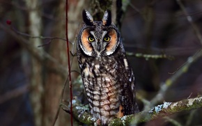 Picture branches, owl, bird