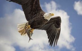 Picture the sky, bird, wings, fish, predator, flight, mining, Bald eagle, catch