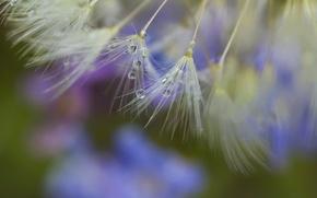 Picture macro, Rosa, dandelion, drop, seeds