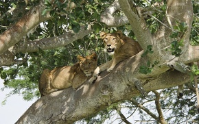 Picture tree, stay, predator, Leo, pair, lions