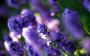 Picture purple, macro, light, flowers, glare, glade, color, plants, blur, lavender