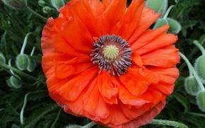 Picture macro, red, spring, Mac, red, macro, spring, poppy