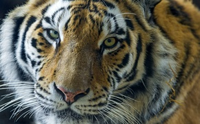 Picture look, face, portrait, big cat, the Amur tiger