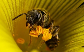 Picture flower, bee, stamens, 155