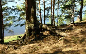 Picture forest, trees, nature, roots, river, shore, morning, walk, pine