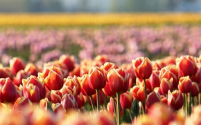 Picture flowers, glade, spring, blur, tulips, red