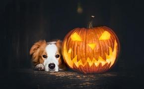 Wallpaper holiday, pumpkin, dog