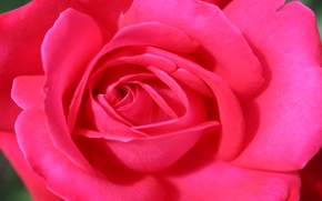 Picture flower, macro, pink, holiday, rose