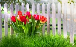 Wallpaper grass, flowers, the fence, spring, tulips, grass, nature, fence, spring