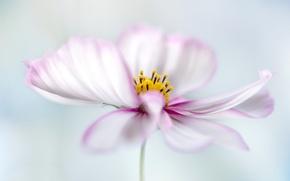 Picture flower, paint, petals, kosmeya