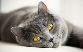 Picture cat, eyes, cat, mustache, look, face, grey, yellow, British, British