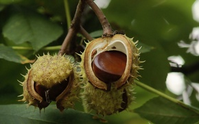 Picture on the branch, ripe, chestnuts