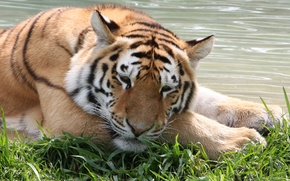 Picture cat, grass, face, water, tiger, stay, the Amur tiger