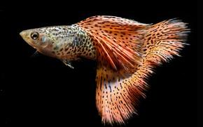 Picture black, fish, aquarium