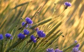 Picture wheat, field, flowers, ears, cornflowers
