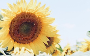 Picture sunflower, yellow, petals