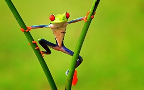 Picture branches, Frog, treefrog