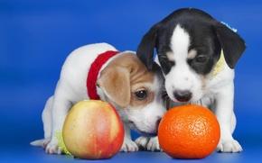 Picture Apple, orange, puppies