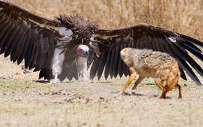 Picture fox, wings, feathers, predator, defense, vulture