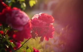 Picture summer, flowers, mood, Bush, roses, roses, Milota