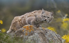 Picture nature, stone, Lynx, a small lynx