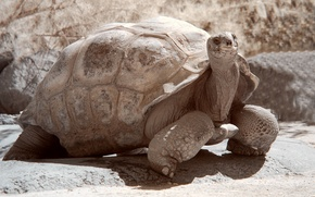 Picture animal, Turtle, shell