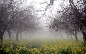 Picture trees, nature, fog, rape