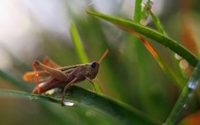 Picture background, grasshopper, nature