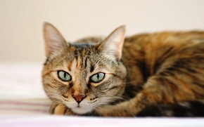 Picture cat, eyes, cat, face, lies, striped