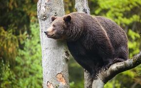 Picture greens, tree, bear, beast