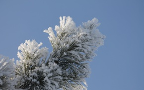 Picture frost, white, blue, pine