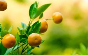Picture leaves, branch, fruit, Mandarin, tangerine, tangerin