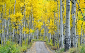Picture road, autumn, forest, nature, birch
